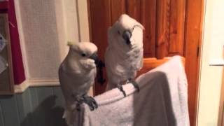 cockatoo loves elvis(cockatoo loves elvisJukin Media Verified (Original) * For licensing / permission to use: Contact - licensing(at)jukinmediadotcom., 2015-02-08T20:58:36.000Z)