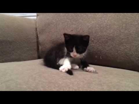 kitten chasing tail