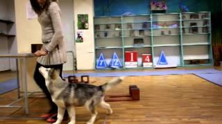 Дрессировка щенка маламута - видео с 4 занятия по курсу дрессировка щенка