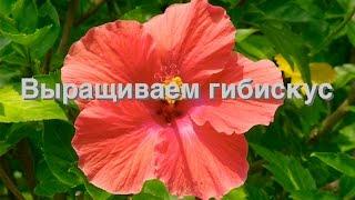 видео Суданская роза и ее выращивание