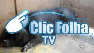 TV Clic Folha - Criador de suíno quer tirar cria de matriz de 460 quilos