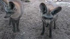 Löffelhund - Zoologischer Garten Magdeburg