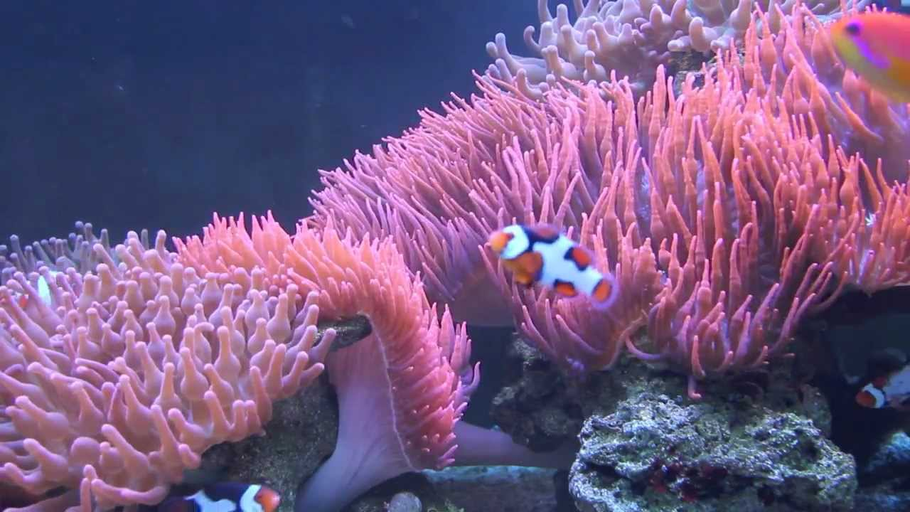 Week 36 clownfish anemone tank extended version youtube - Anemone species caring color refinement ...