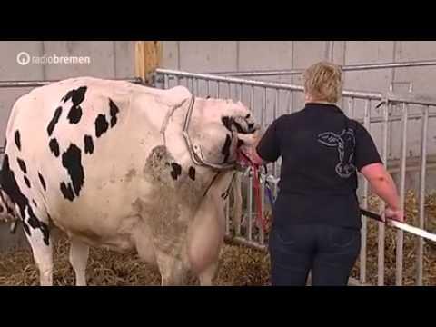 Как телятся коровы видео