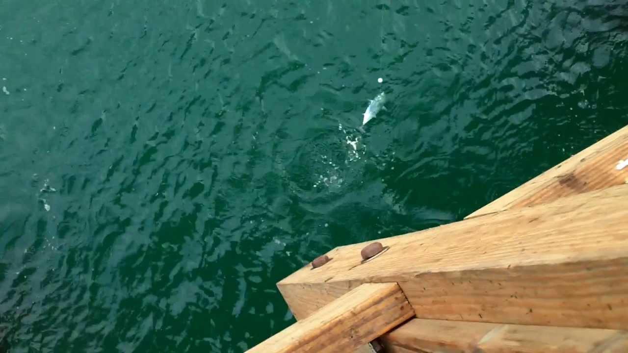 Saltwater pier fishing panama city beach florida bonito for Panama city beach fishing