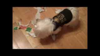 Maltese Dog Rips Up Paper - Everywhere! (jan 4 2010 - Day 4)