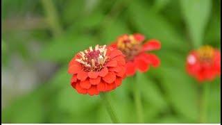 Цветы для цветника.  Неприхотливая циния!