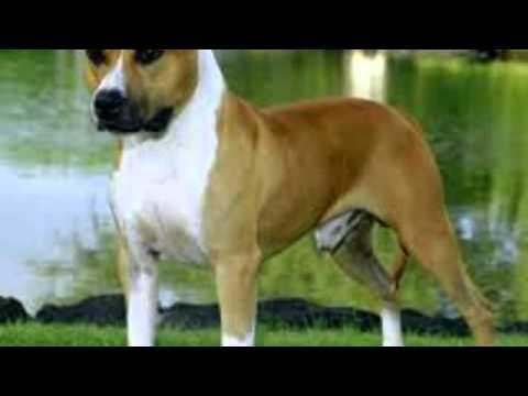 American Staffordshire Terrier Temperament - YouTube American Staffordshire Terrier 2014