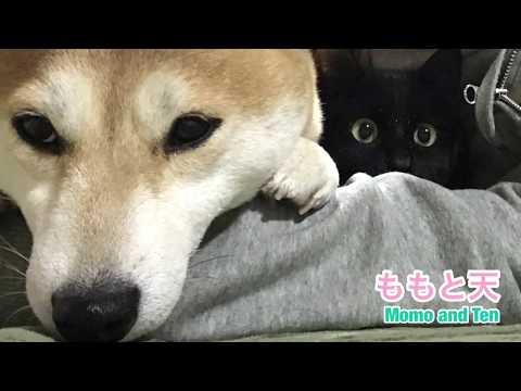 猫が好きすぎて飼い主の存在を忘れる柴犬 Cat is the king of our house - YouTube