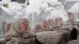 وثائقى   قرود الثلج اليابانية   عالم الحيوان HD