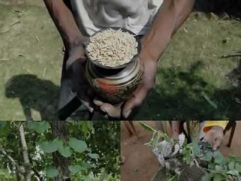 Medicinal Rice P5 Formulations for Flemingia Overdose: Pankaj Oudhia