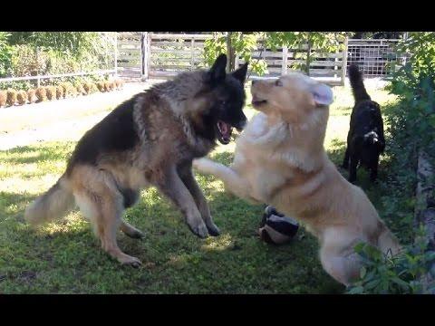 German Shepherd VS. Retriever Fight: REVENGE HD
