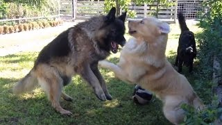 German Shepherd Vs. Retriever Fight: Revenge Hd