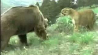 Медьведь  против Тигра(, 2011-12-17T19:11:47.000Z)