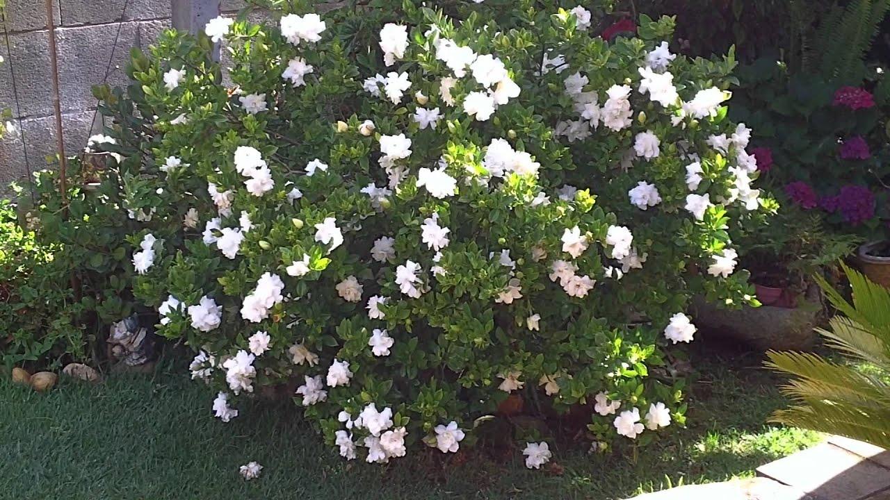 Gardenia cuidados 1 junio 2011 youtube - Plantas de interior con flor ...