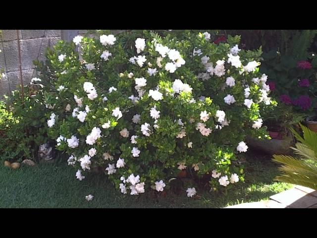 cómo cuidar gardenias: 18 pasos (con fotos) - wikihow