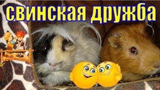 Дружба морских свинок/морские свинки/дружба между свинками