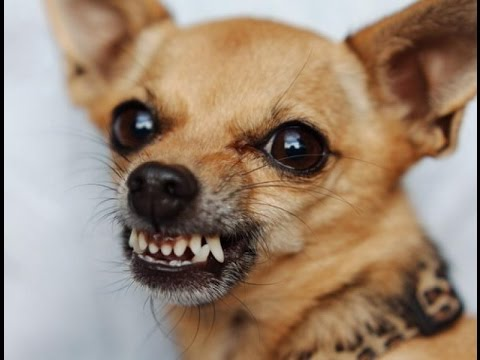 картинки злая собака