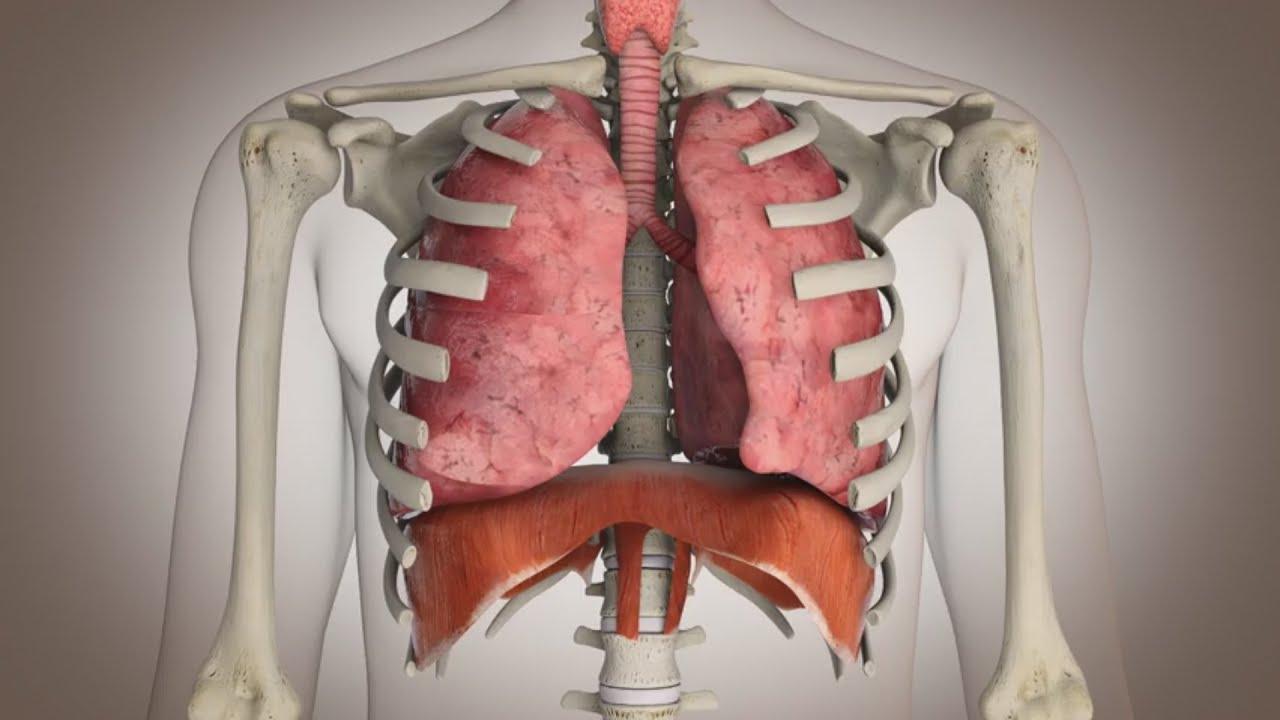 El funcionamiento del sistema respiratorio - YouTube