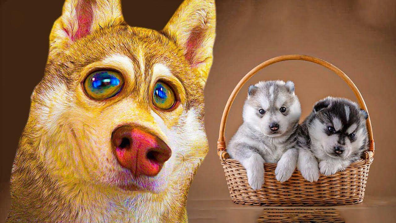 ВСЕ О МОИХ ЩЕНЯТАХ!! ЛУЧШИЕ СЕРИИ!! (Хаски Бублик) Говорящая собака Mister Booble