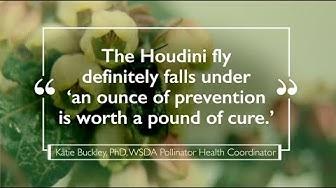 Houdini Fly - A new invasive pest threatens Mason Bees