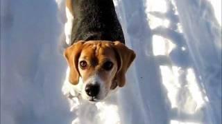 Meme - My Beagle