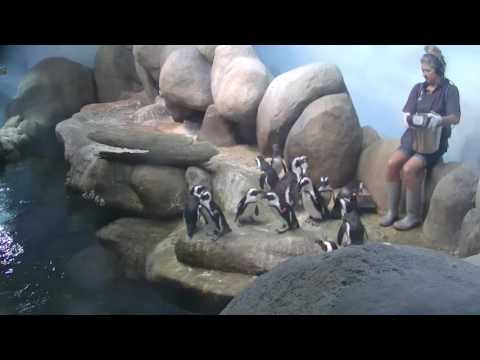 African Penguin Feeding | California Academy of Sciences