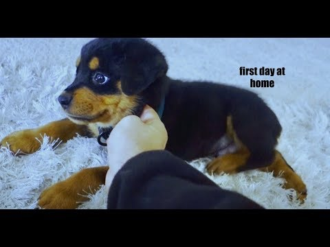 8 week old puppy Rottweiler's first days home. |02