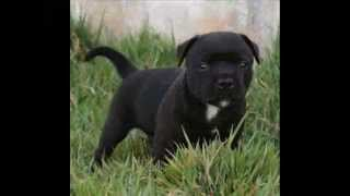 Staffordshire Bull Terrier- Kingstafford