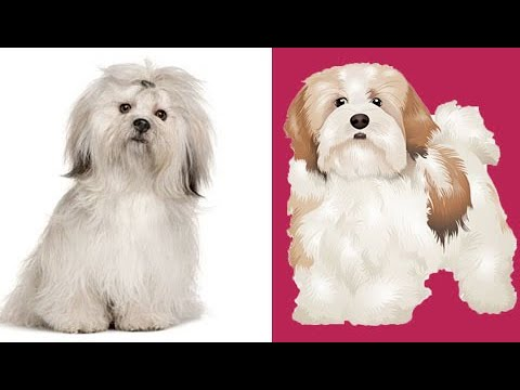Buy Lhasa Apso puppy I A best watch dog I Delhi, Noida, Gurgaon, Chandigarh, Jalandhar