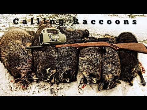Daytime Raccoon Calling With A Foxpro   6 FOR 6 On The Day   Better Than Trapping