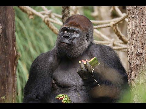Gorillas get watermelon treats!