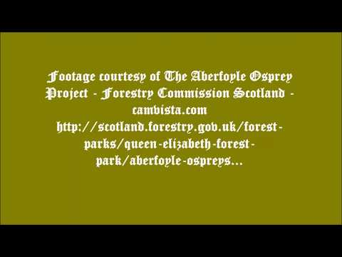 Forestry Commission Aberfoyle Ospreys ~ Brothers Together, Aug 24, 2017