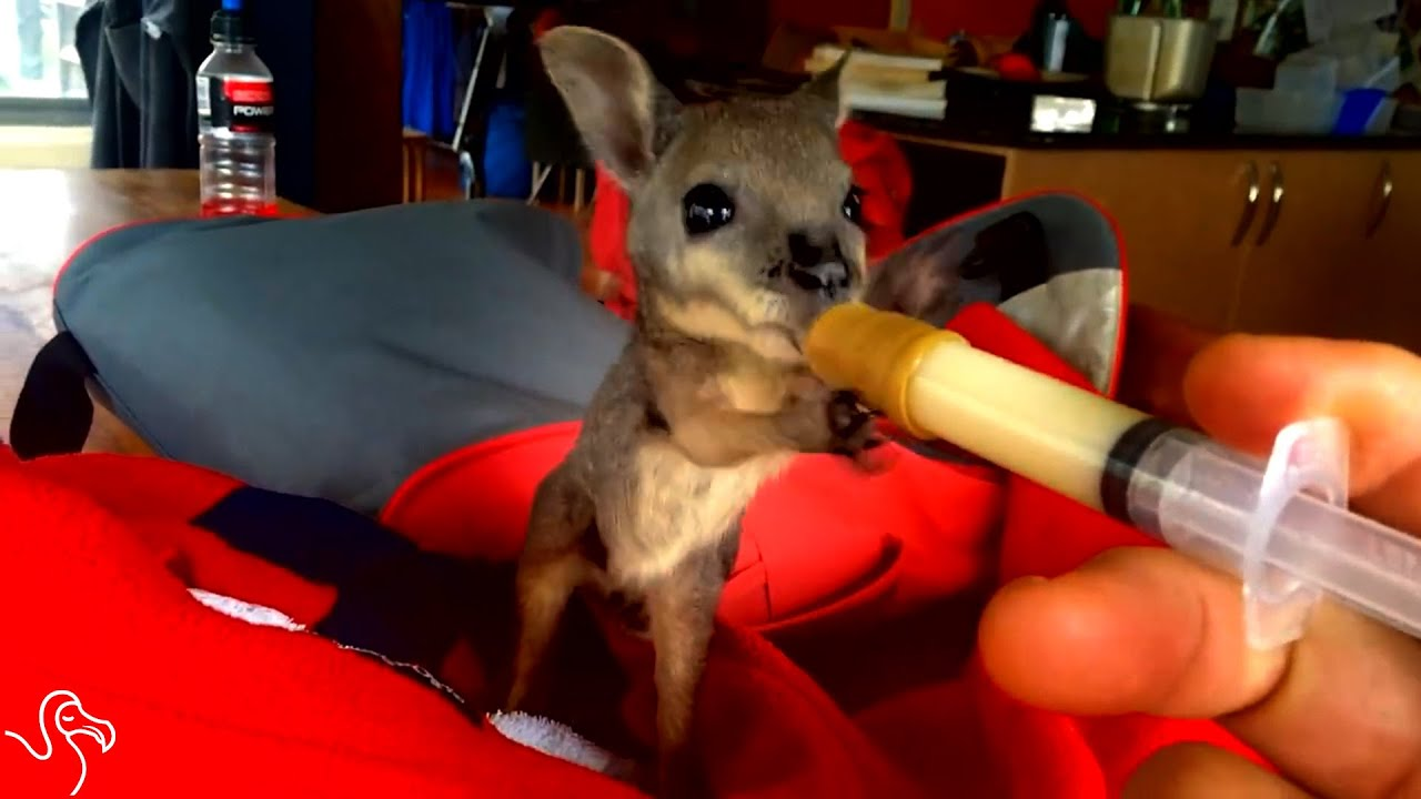 Littlest Wallaby Takes Tiny Sips of Milk