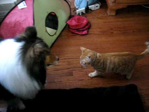 kitten attacks dog