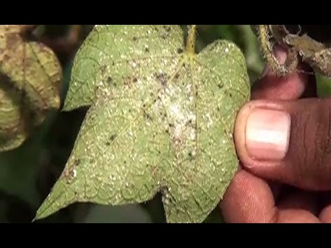 whitefly attack on cotton crops in Punjab