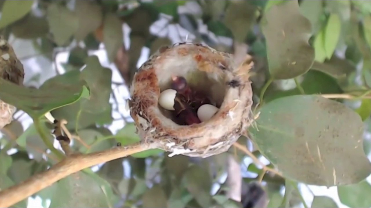 Rosie Hummingbird Eggs Hatch Acacia Aster 1 26 17