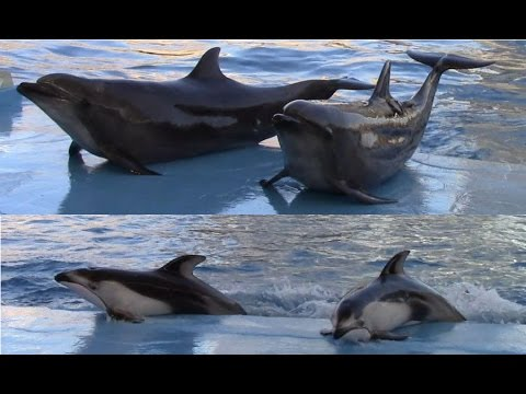 Port of Nagoya Aquarium Dolphin Show 9/12/15  名古屋港水族館 イルカショー
