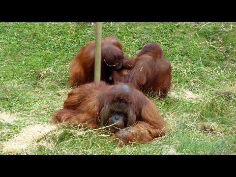 Apenheul ( Apenheul Primate park, Holland )