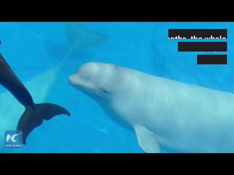Can Beluga Whales Speak To Other Species?