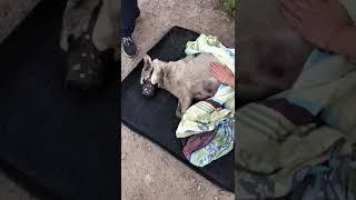 Спасение из канавы собаки с асцитом