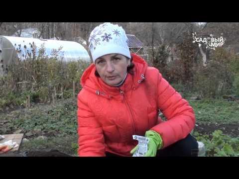 Как сажать укроп под зиму