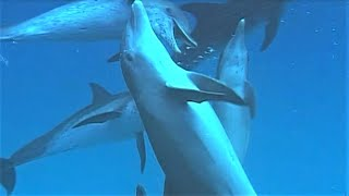 Bully Bottlenose Dolphins | Wild Caribbean | BBC Earth