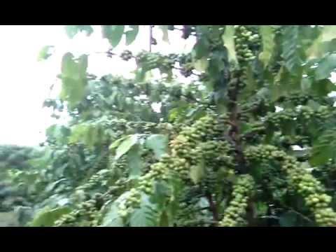 Cà phê giống thuần chủng - ghép trên gốc vối - 10 tấn/ha