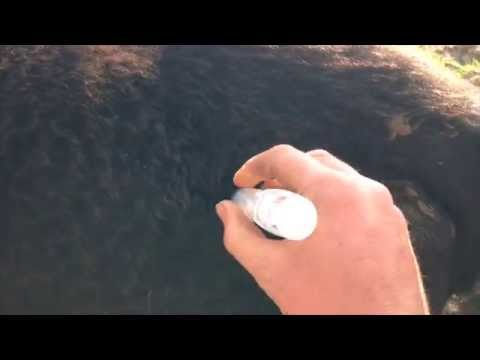 How to give Cattle an Intramuscular Injection