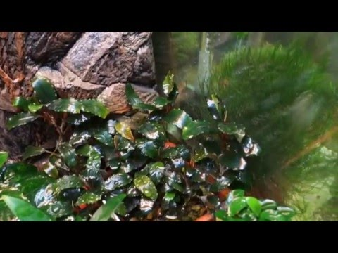 "Буцефаландра сп. ""шайне блю"" - Bucephalandra sp. ""Shine Blue"""