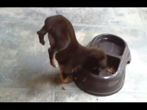 'Puppies Doing Handstand Compilation'|| CFS