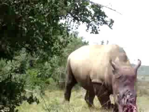 Rhino poaching must fall