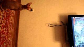кошка-сфинкс смотрит телевизор