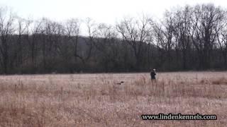 Marty An English Springer Spaniel Flushing Pheasants
